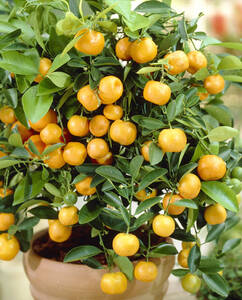Calamondin Orange - 1 Orangenb�umchen 830752